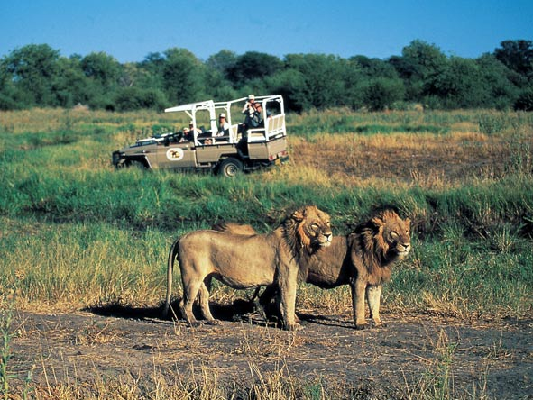 Lions in the Moremi Reserve