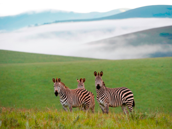 Three mountain zebra