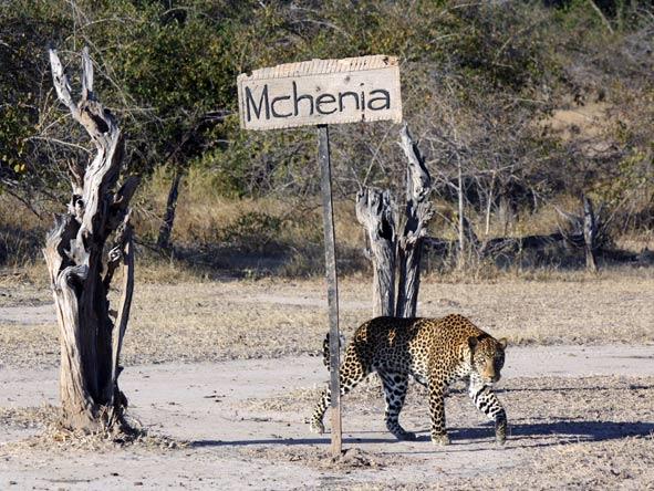 leopard, mchenja camp