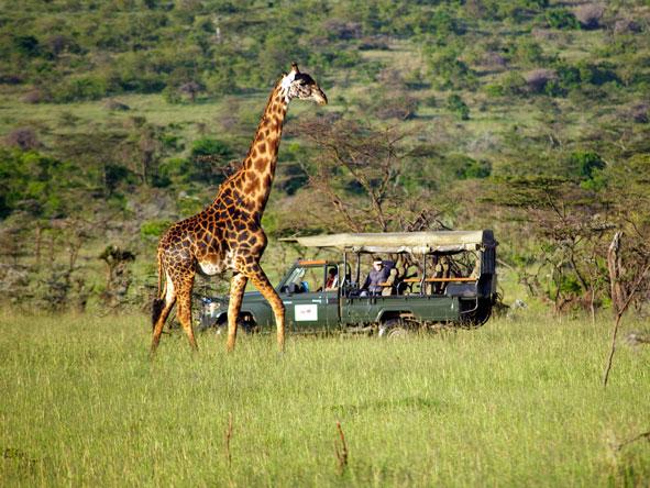 Naibosho Conservancy, giraffe