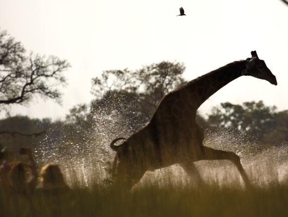 giraffe, Okavango Delta