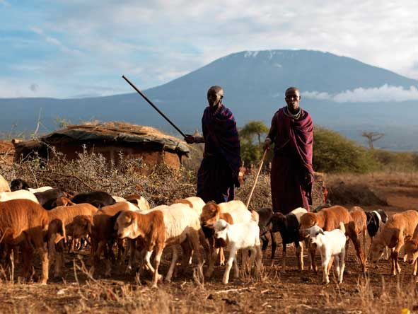 Maasai people with cattle