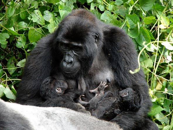 Mother Gorilla and babies