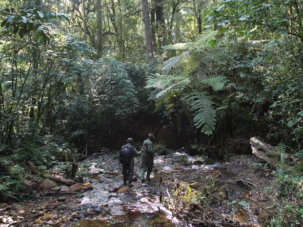 guided gorilla trek in Bwindi Forest