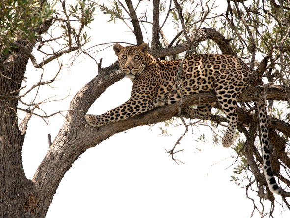 Leopard in the tree, masai mara