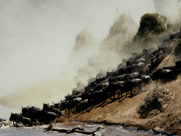 Wildebeest Migration river crossings