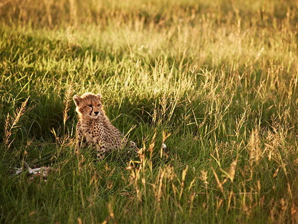 cheetah cub, serengeti