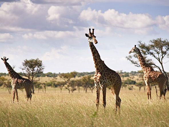 giraffe, Tanzania Serengeti