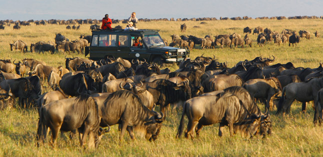 How the Migration works- wildebeest