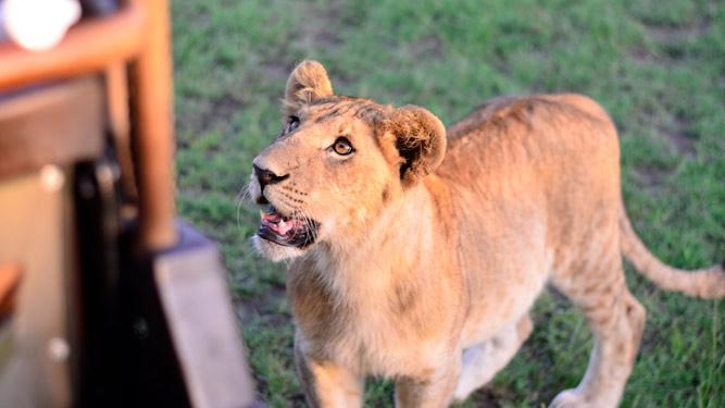 lion Masai