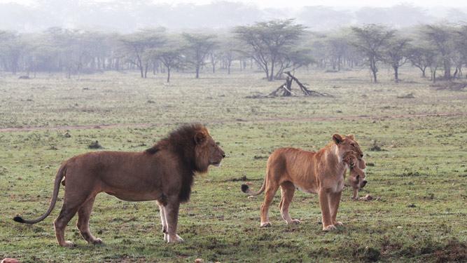 Masai Lion Cub