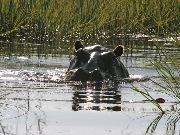 Hippo's
