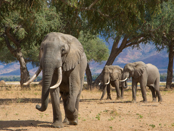 Herds of elephant