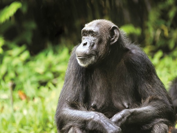 chimp trekking