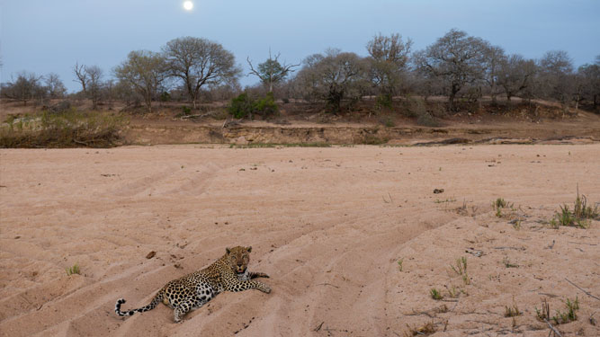 Leopard in sand