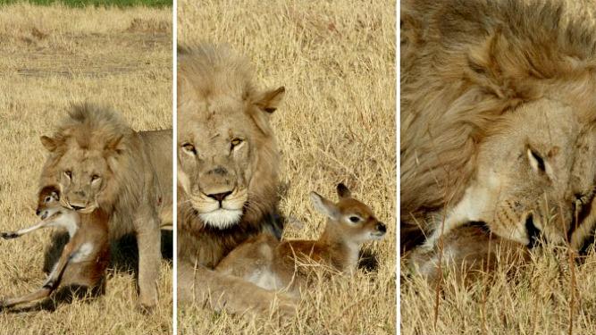Khwai Lion Lechwe