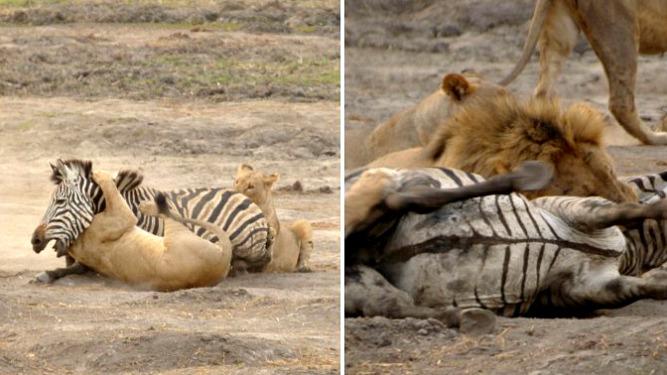 Lion Hunt Zebra