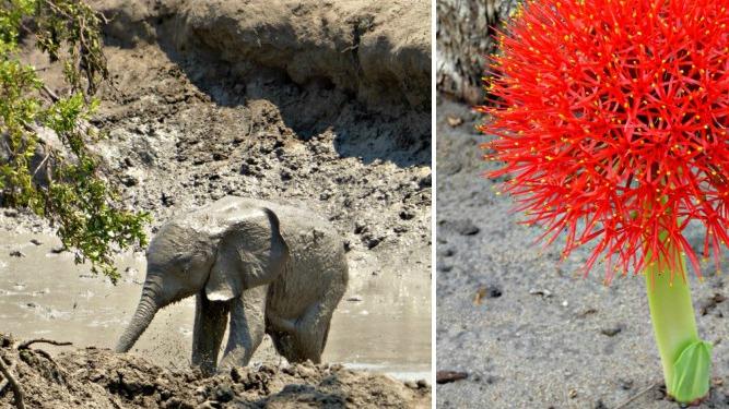 Somalisa Elephant