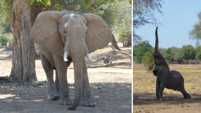 Zambezi Expeditions elephant