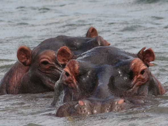 grunting hippos