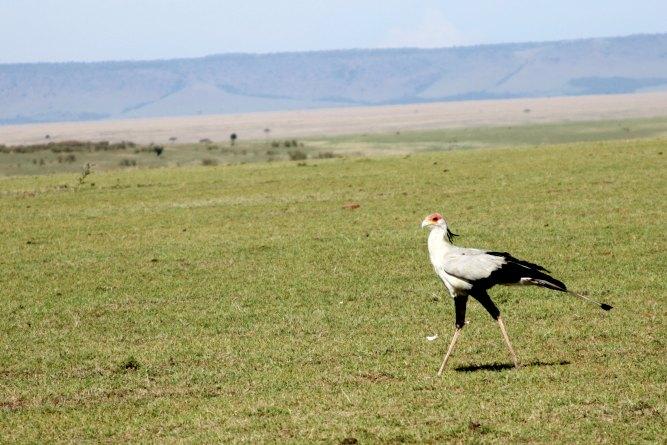 What you will see in the Masai Mara Green Season