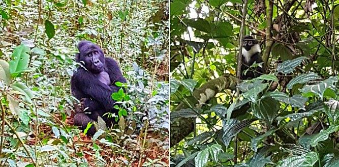 Gorilla & Chimp Trekking in Uganda