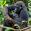 Gorilla & Chimp Trekking in Uganda - similar