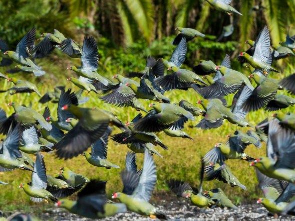 Congo Birds
