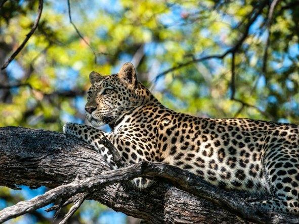 Hyena Pan leopard