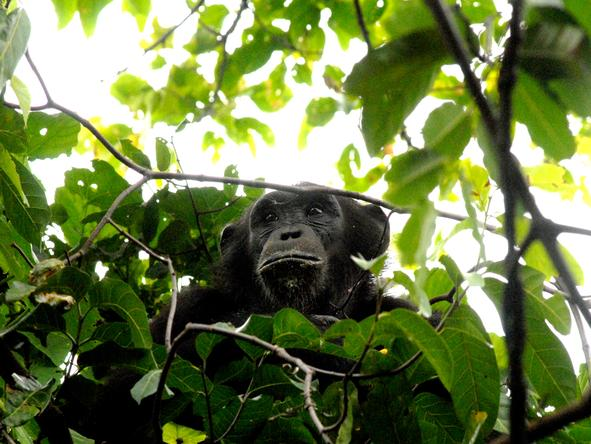 Greystoke Mahale - chimpanzee in forest