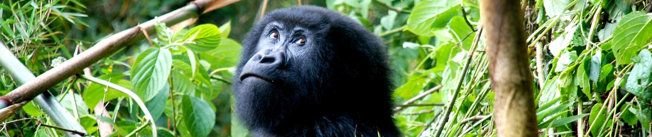 Rwanda – one of the few places in the world where you can experience the thrill of a close encounter with mountain gorillas.