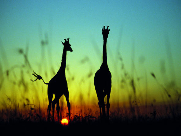 Mara Bushtops Camp - giraffes at sunset