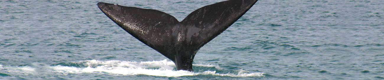 Whale Coast - the attractive towns of Hermanus, Stanford and Gansbaai offer superb sightings of southern right whales during the very festive and popular Whale Season each year.