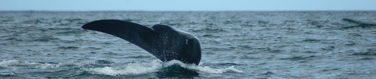 The Great Cape Whale Watching Experience