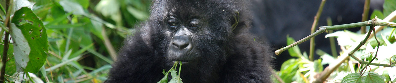 Chimps, Gorillas & Wildlife Safari